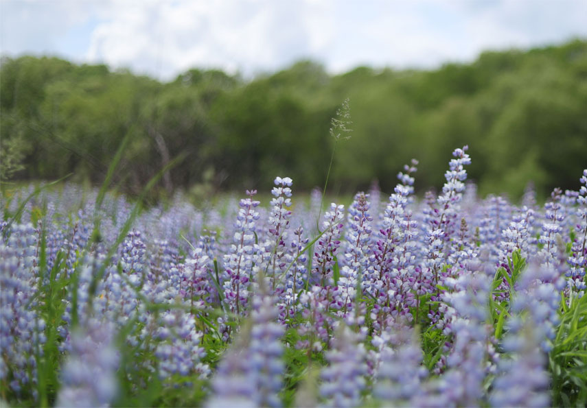 Lupines at West Beach
