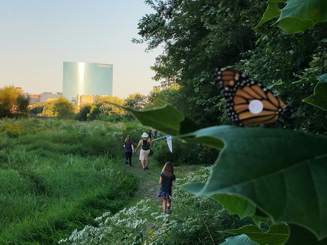 A monarch rests alongside the Urban Wilderness Trail in downtown Indianapolis