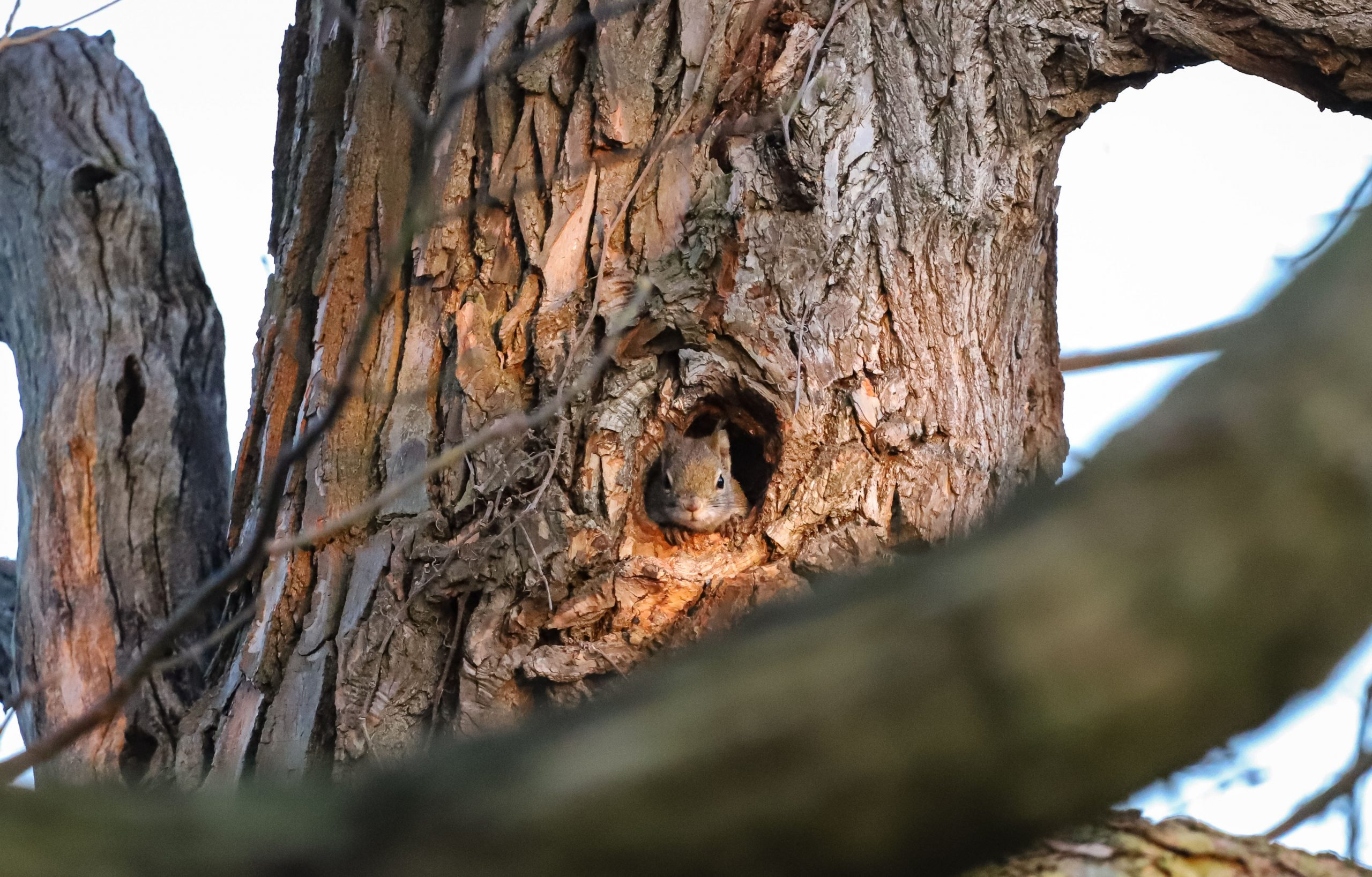 American Red Squirrel in a tree