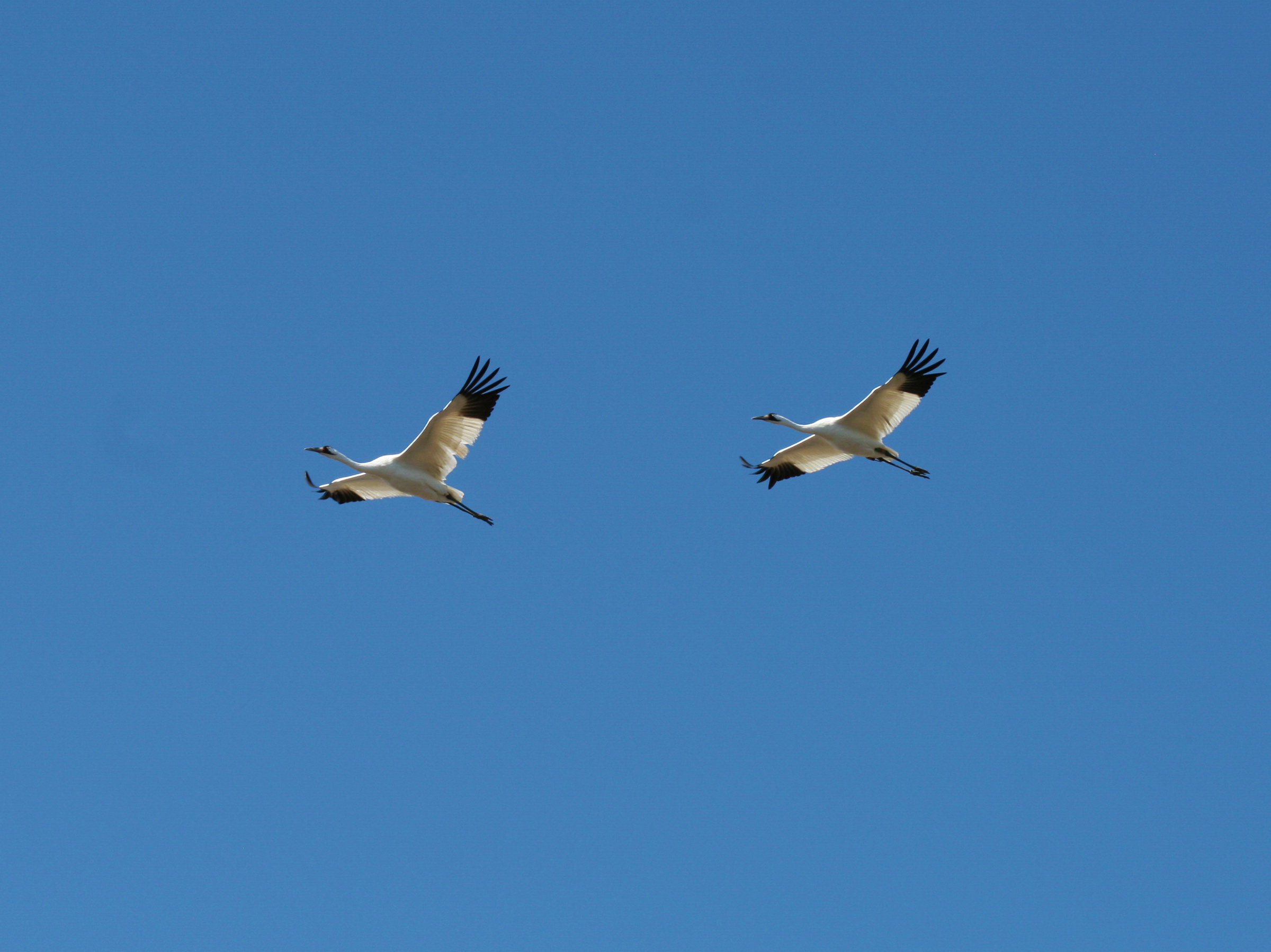 Geese over Goose Pond