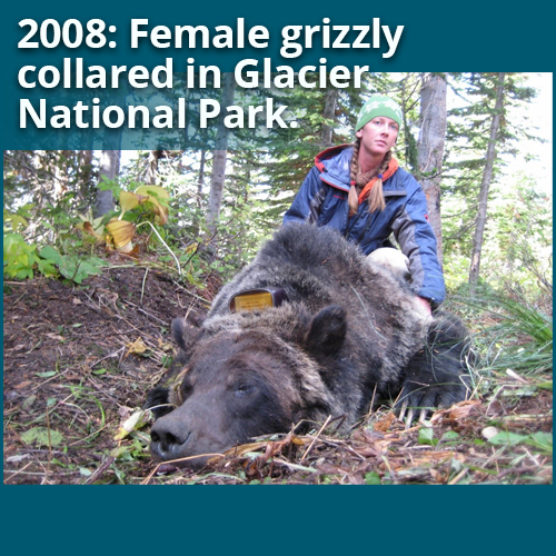 2008: Female grizzly collared in Glacier National Park