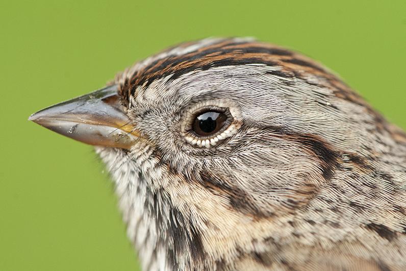 Melospiza lincolnii Lincoln's Sparrow