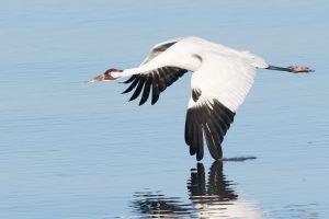 Whooping Crane in Flight