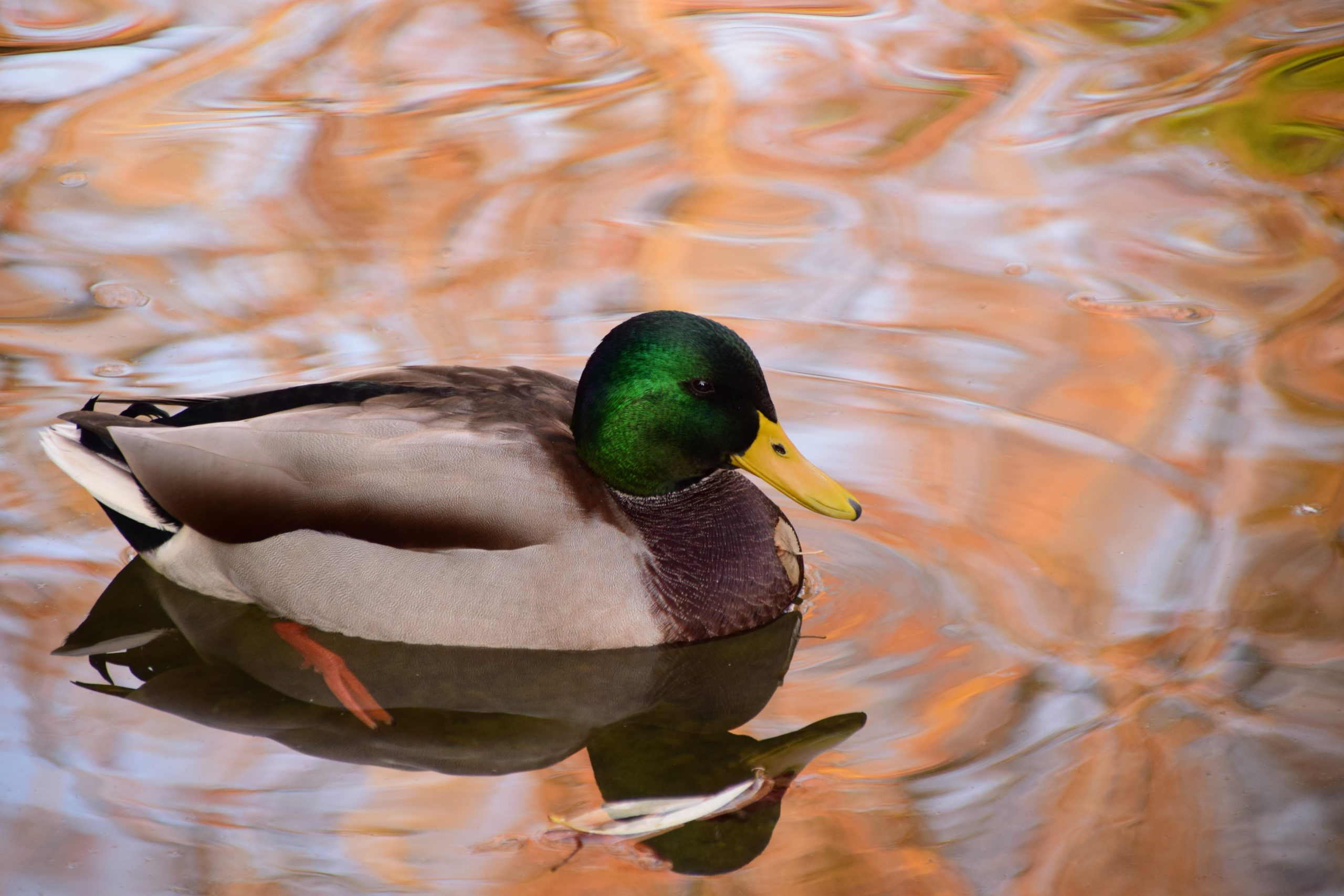 Duck swims in a pond