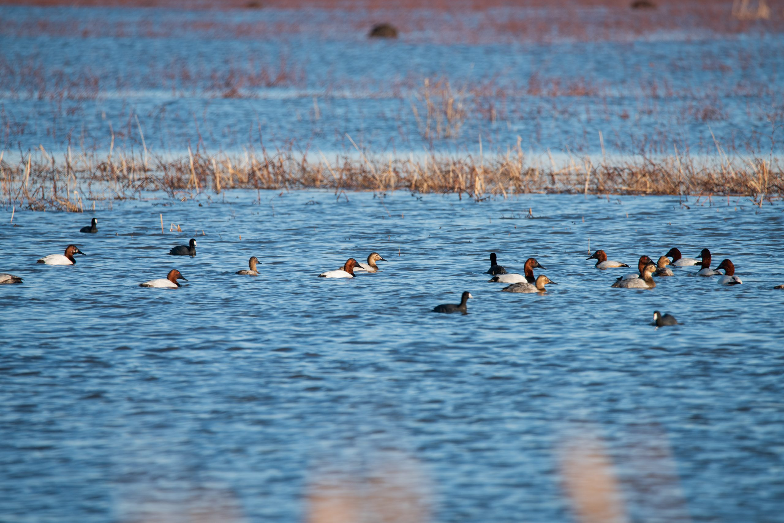 Canvasbacks and Coots at Goose Pond FWA in Linton, IN by Emily Wood